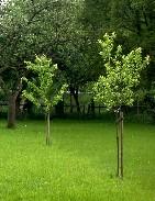 Neu gepflanzte Obstbäume