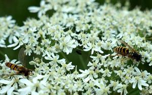 Wespe und Fliege auf Pflanze