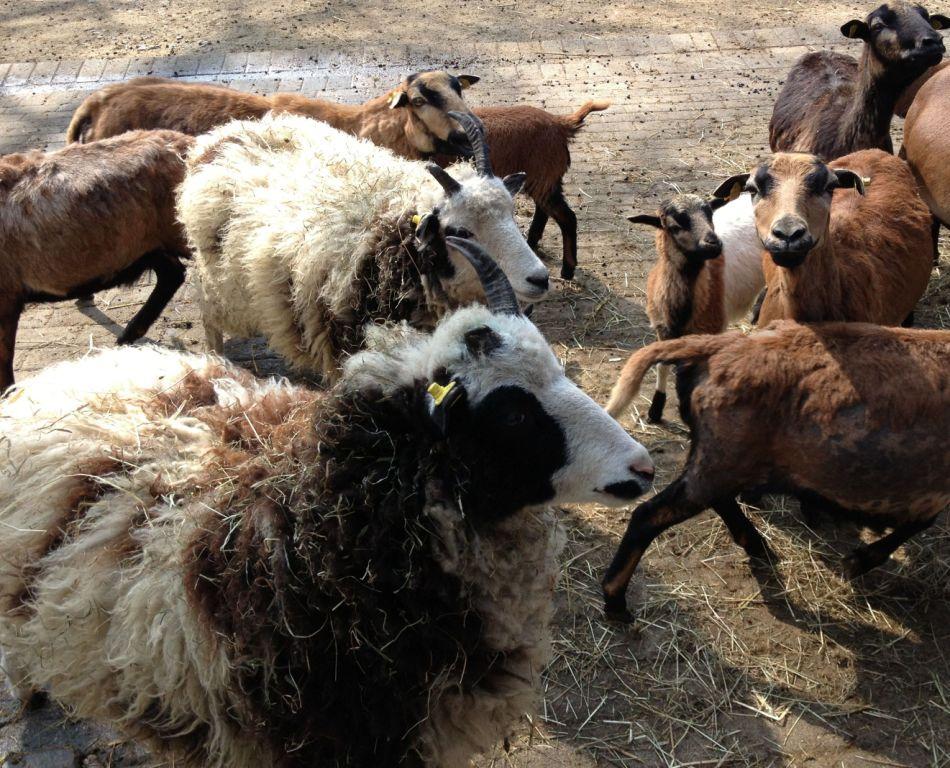 Die beiden Schafe mit dem besonders wuscheligen weißen Fell (links) brauchen noch einen Namen