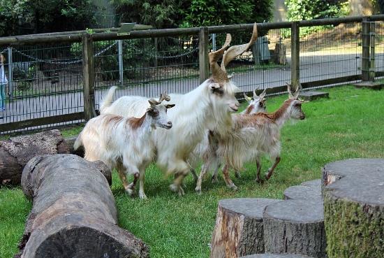 Die vier Girgentana-Ziegen, deren Rasse als extrem gefährdet gilt, haben jetzt Namen.