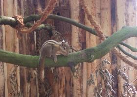 Baumhoernchen.jpg - Die chinesischen Baumhörnchen bereichern jetzt den Tierpark.