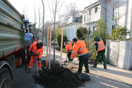 Pressefoto - Die Mitarbeiter der Kommunalen Servicebetriebe pflanzen einen Baum auf der Otto-Burrmeister-Allee.