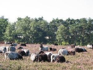 Westruper Heide mit Heidschnucken