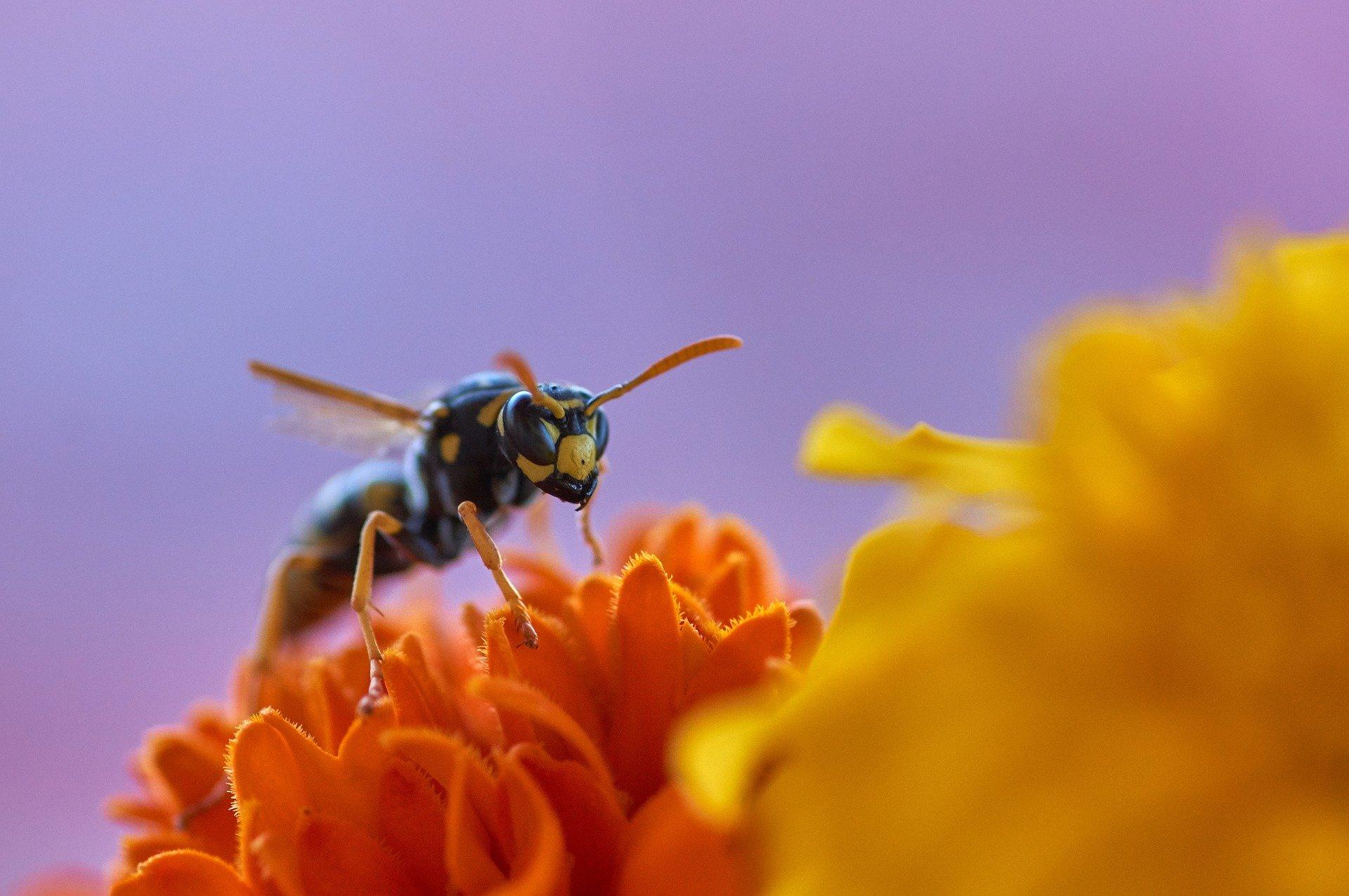 Wespe und Blüte