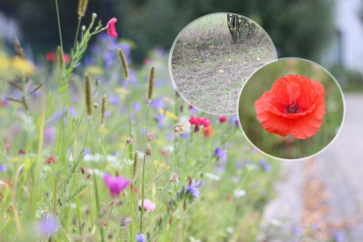 Blühende Blumenwiese Anschauungsbild