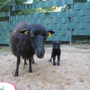 ressefoto -  Der Tierpark freut sich über Nachwuchs bei den Quessantschafen
