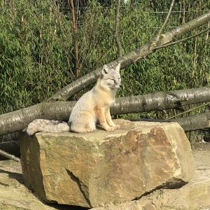 Die Füchsinnen fühlten sich wohl im Recklinghäuser Tierpark.