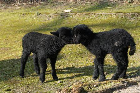 Pressefoto: Die neusten Jungtiere der Ouessant-Schafe toben bereits durch ihr Gehege im Recklinghäuser Tierpark. Foto: Stadt RE