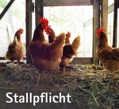 """Bild: """"Stallpflicht"""", Auf dem Bild: Hühner in Stallungen, Foto: © ninop, fotolia.com"""