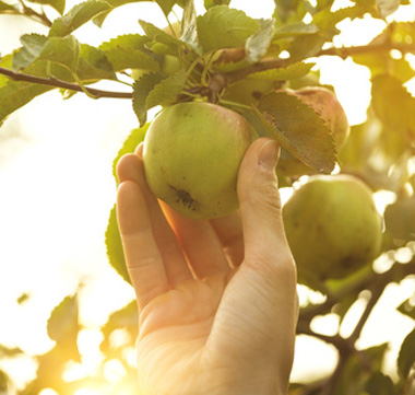 Bild: Picking Fresh Apples; Nerudol, fotolia.com