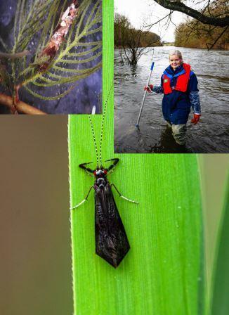 Auf dem Bildern: Larve mit Behausung, Die Biologisch-technische Assistentin Sylvia Mählmann bei der Probennahme am Gewässer,  Die Silhouette der Köcherfliegenart erinnert an eine schwarze Miniatur-Krawatte