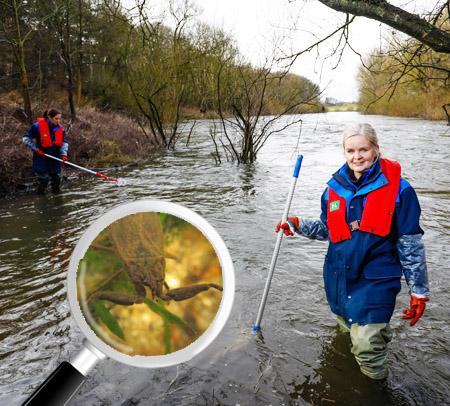Auf dem Bild: Lippeverband-Mitarbeiter im Schwarzbach und Nahaufnahme von einem Wasserskorpion. Foto: Team Labor, EGLV